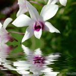 orchid-reflection