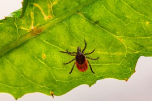 Lyme disease tick