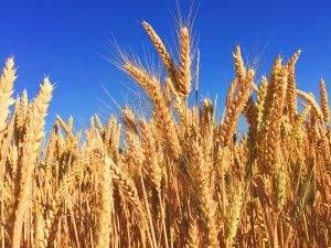 wheat allergy food allergies